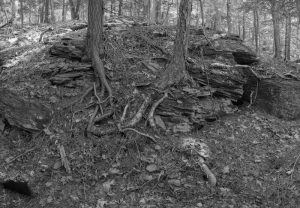 Tree roots Mt Tremper Trail